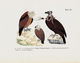 1854 Antique VULTURE print