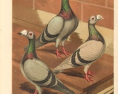 c1880 Original Antique Chromolithograph of Blue and Silver Dragoon Pigeons