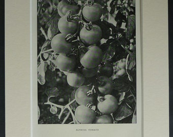 1920s Vintage Horticultural Print of a Sunrise Tomato Plant Retro black and white gardening decor, vintage horticulture art - Gardener Gift