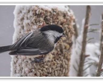 Iphone Case , Fine Art Photography, iPhone 4/4s, iPhone 5/5s, iPhone 6,  New England Birds, Black Cap Chickadee