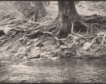 Surreal Tree Roots, Tree Roots Photo, Big Sur River photo, California Woodlands Photo, Black & white Tree Photo Art, Big Sur California Art
