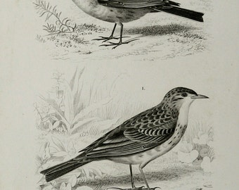 1849 Antique print of a PIPIT BIRDS: Richard's pipit and a Alauda alpestris. Songbirds. 165 years old lithograph.