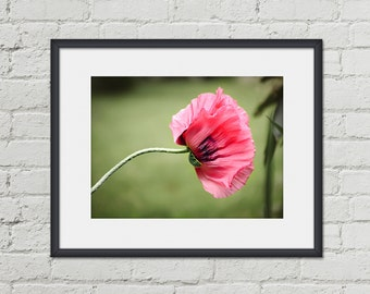 Elegant Bedroom Art - Pink Oriental Poppy Photo - 8x10 Wall Art - Salmon Pink Flower - Floral Photography - Spring Nature Print