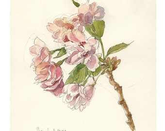 Cherry Blossom #2 Watercolor pencil drawing - botanical PRINT of blooming cherry drawing - floral watercolour art by Catalina.