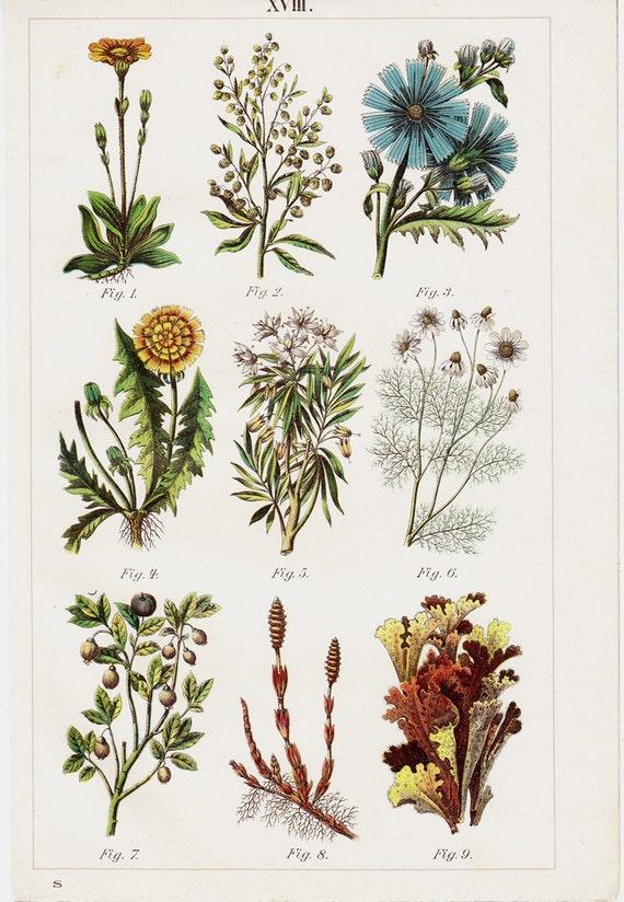 Piante Medicinale : Antiche piante medicinali stampare di speziale