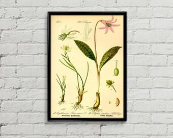 Lily botanical illustration. Botanical print. Lily illustration print. Home decor. Wall art. Kitchen decor. Lili plant poster.