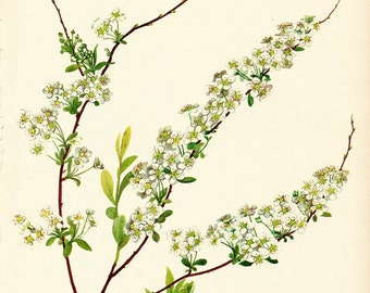 VINTAGE SHRUB SPIRAEA Plant Art Print 1969 Botanical Gallery Wall Art Home Decor - Perfect Gift for Wedding, Birthday, Graduation (Shrub 48)
