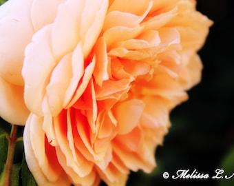 Peach Garden Rose Fine Art Print