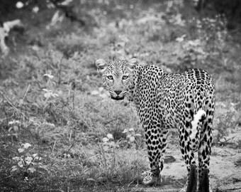 Kenya Photography, Kenya, Safari, Leopard, Big Cat, Wall Art