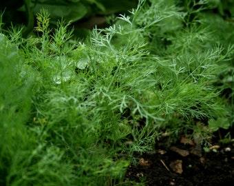 1,300+ Dill Herb Seeds- Bouquet