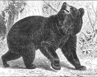 24x36 Poster; American Black Bear Illustration