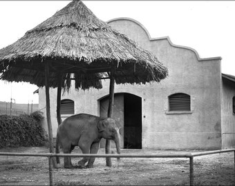 24x36 Poster; Asian Elephant At The Los Angeles Zoo, Ca.1920 (-9746)
