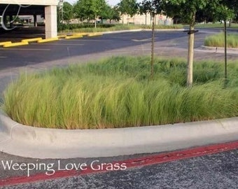 Weeping Love Grass Seeds (Eragróstis cúrvula)