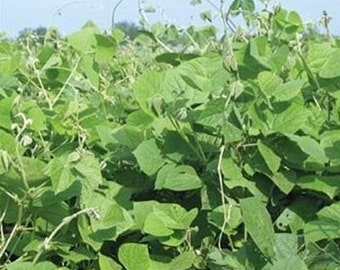 LabLab Food Plot Seed