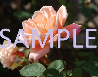 Set of 12 Pink rose photograph stationery note card (with envelope)