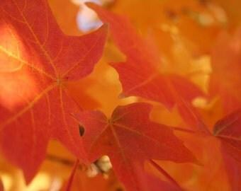 Fall - Maple Leaves