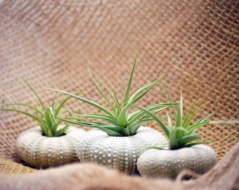 Air Plant Tillandsia Bromeliads 3 Gift Set with Sea Urchin Holiday