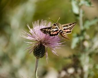 White Lined Sphinx Moth 'Digital Download' - (hummingbird moth) Fine Art Photography - Instant Digital Download Printable