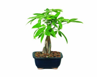 Brussel's Money Tree - Represents Good Luck Indoor   (FREE SHIPPING)