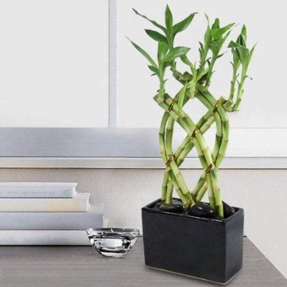 Lucky bamboo 8 cane trellis plant arrangement free shipping from specialgreen on etsy studio - Planter bambou en pot ...