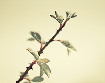 nature plant thorn branch winter fine art photography sepia beige wall art print nature photograph fine art phtography cottage wall decor
