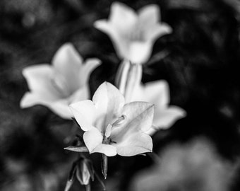 Black and white photography  Campanula blossoms //  instant download / jpg file / home decor / wall art / bell flowers