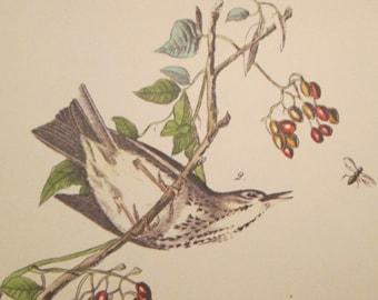 Vintage Bird Illustration - Audubon Book Plate - Wagtale/ Thrush