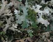 Natural Plant Dye for wool Dark Brown Lichen  Lobaria pulmonia