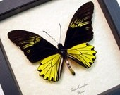 Real Framed Troides Cuneifera Male Birdwing Shadowbox Display Butterfly 8218