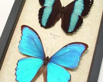 Real Framed Morpho Patrocles & Morpho Didius Butterflies  M1019