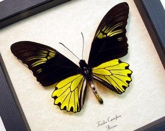 Real Framed Troides Cuneifera Male Birdwing Butterfly 8218