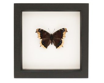 Real Framed Butterfly Mourning Cloak Spring Butterfly