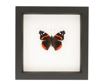 Mounted Red Admiral Butterfly Display UV glass