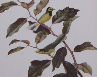 Menaboni's Birds/HOODED WARBLER/1950s Color Plate/Book Page/Unframed Print