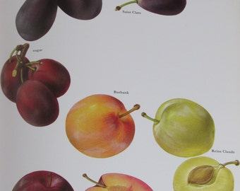 Plums, Color Plate, 7.75 x 11.5 in, Vintage Book Page Illustration by Marilena Pistoia, Unframed Print