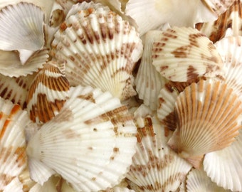 "Seashells - Brown and White Pecten Shells - 1"" - 1.75"""