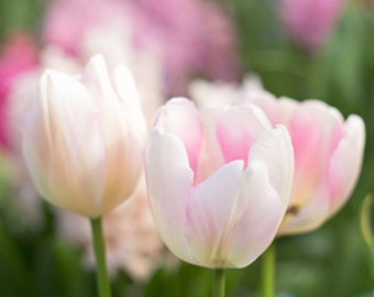 Pink spring tulips photograph,  Soft and delicate, New England spring photo, soft pink white and green, shabby chic home decor