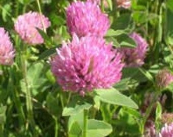 Organic Red Clover Seeds