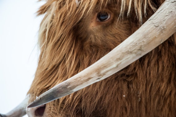 Highland Cattle 6 - Fine Art Photography - Wall Décor - Nature Photography