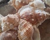 Maple Leaf Shells/ Seashells, Beach Wedding Bulk Supply, supplies/ DIY do it yourself coastal decorating decor/ Bursa Rana