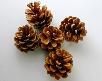 25 Medium Hand Picked Pine Cones for Crafting