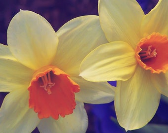 Duo Daffodils, Floral, Daffodils, Spring, Fine Art Photography, Wall Decor