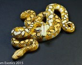 Polymer Clay Duel Reticulated Python Figurine, Normal and Mochino Retics, Hand Painted.