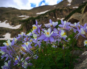 Columbines, Flower Photography, Fine Art Photography, Colorado, Wall Art, Wall Decor, Nature Photography, Purple Flower, Mountains