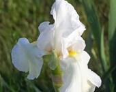 Printable, White Iris - 4 Sizes, Art, Nature Photography