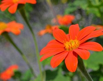 Orange Flowers   Photography Print