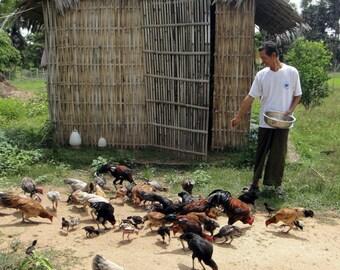 Animal Feeds Feeding 30 Books CD Feed Livestock Farm Animals Poultry Chicken Pig