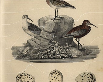 Antique Natural History Bird Print Birds on the Ground & Rock  Original Hand Colored