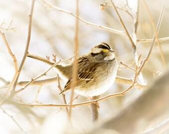White Throat  Sparrow Photograph - Winter Song Bird - Bird Art - Nursery Wall Art -Tender - Soft Sweet Cute - Wall Decor - Bird Photograph