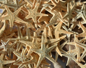 "Tiny Flat Philippine Starfish (1/4-7/8"") 
